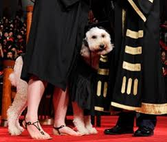 dog graduation cap and gown pet scoop service dog dons cap and gown for graduation cat