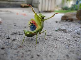 praying mantis with open wings imgur