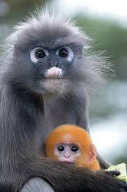 Baby Monkey Meme - dusky leaf monkey young arnhem conservation and zoos