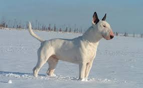 american pitbull terrier juen bull terrier pet names u2013 dogs in our life photo blog