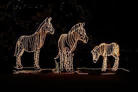 photo zoo lights zebra denver colorado neighbors