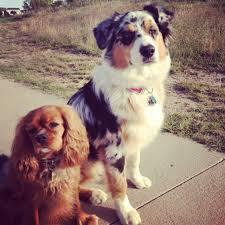 bartender resume template australian terrier club of america dogs australian shepherd and cavalier king charles spaniel