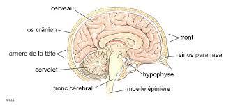 si e des motions dans le cerveau une femme de 24 ans en bonne santé est née avec une partie du