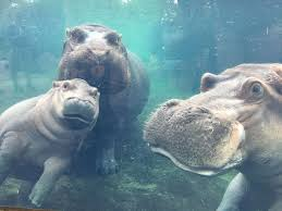 fiona the hippo is now starring in her own show