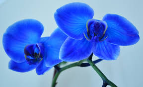 blue orchid flower knumathise real blue orchid flower images