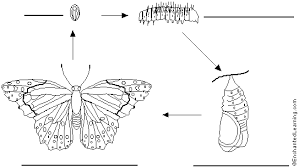 label butterfly life cycle in spanish printout