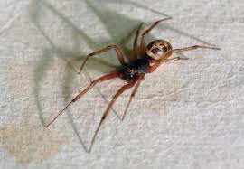 Black Widow Spiders Had A - as false widow spiders spread here s how to spot one and treat bite