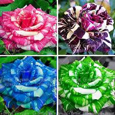 Black Rose Flower Aliexpress Com Buy 100pcs Bag Rose Seeds Tiger Striped Rose Rare