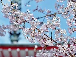 All Types Of Flowers List - flowers in japan