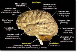 Which Part Of The Brain Consists Of Two Hemispheres Uh Stroke Center University Hospital Newark Nj