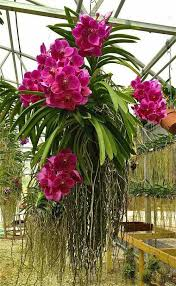orchid plants beautiful hanging plants nanna this http www