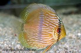 Aquascape Online Aquascapeonline Online Fish Store That Sells Piranhas Stingrays
