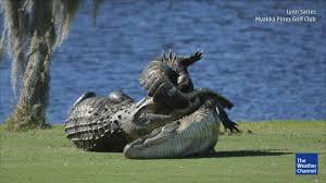 Alligators In Georgia Map Video Alligators Fight On Florida Golf Course
