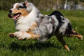 is an australian shepherd smart the 20 best dog breeds for runners outside online
