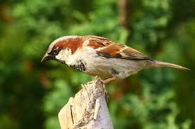 Sparrow by Promiscuous Sparrow Wives May Cause Deadbeat Sparrow Dads