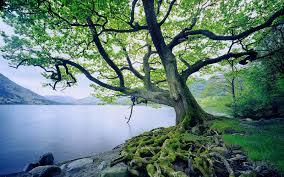 oak trees wallpapers reuun com