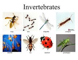 sorting invertebrates and vertebrates by jag03 teaching