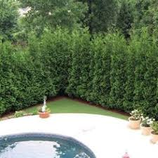 Backyard Privacy Trees Emerald Green Arborvitae Hedge Trees Emerald Color And Evergreen