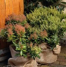 winterharte pflanzen balkon frostschutz für den balkon ratschläge für nicht winterharte pflanzen