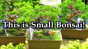 small bonsai trees for sale at market ミニ盆栽