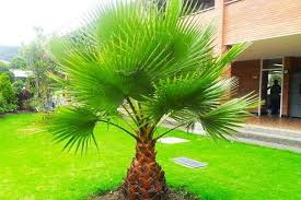 1 or 2 4 5ft washingtonia robusta palm trees