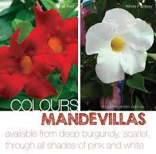 Mandevilla Plant Diseases - mandevilla large flower plant climber about the garden magazine