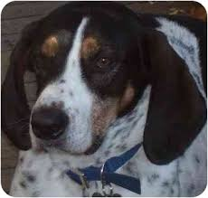 bluetick coonhound rescue illinois calhoun adopted dog calhoun frankfort il australian