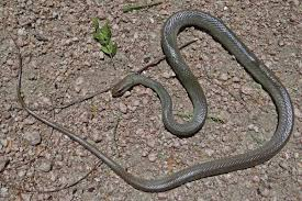 Plains Blind Snake Reptiles And Amphibians Of The Lower Rio Grande Valley