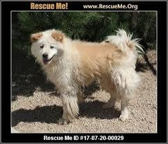 american eskimo dog washington state washington american eskimo dog rescue u2015 adoptions u2015 rescueme org