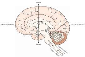 Human Anatomy Planes Of The Body Overview Of The Central Nervous System Gross Anatomy Of The Brain