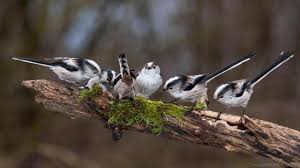 bbc earth long tailed flock together to survive winter