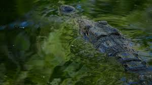 crocodile or alligator in river of natural park stock video