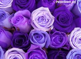 purple roses purple roses beautiful useful and one of the best purple flower