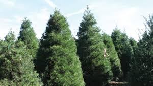 oklahoma christmas trees u2013 oklahoma farm u0026 ranch