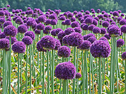 allium flowers alliums pesche s