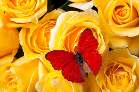 butterfly on yellow roses photograph by garry