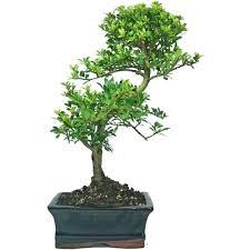 ray nesci bonsai nursery home bonsai tree castle best bonsai 2017