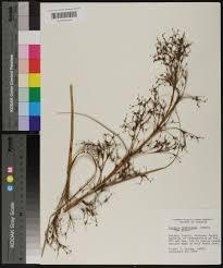 native plants of alabama cladium jamaicense species page apa alabama plant atlas