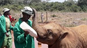 baby elephant drinking milk stock video footage videoblocks