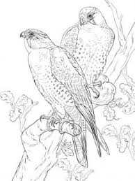 detailed hawk coloring pages printable enjoy coloring