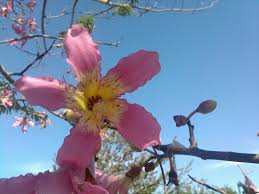 tree with pink flowers fall color the floss silk tree uf ifas extension