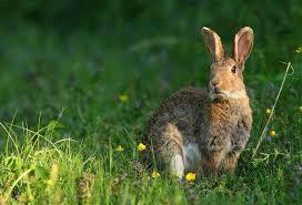 cuisiner un lapin de garenne lapin de garenne lapins de garenne lapin de garenne