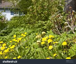 neglected garden full weeds blue house stock photo 73477171