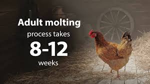 when do chickens molt chickens in a minute youtube