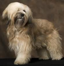 hair cuts for the tebelan terrier tibetan terriers what s good about em what s bad about em