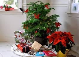 no room for a traditional christmas tree try a norfolk island
