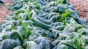 gardening growing frozen greens