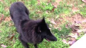 belgian shepherd wallpaper black belgian sheepdog outside playing youtube