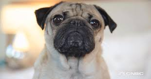 pets news tips u0026 guides glamour how to make your pet instagram famous from doug the pug u0027s owner