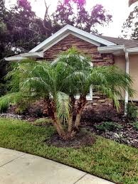 robellini palm tree in honor of columbus day garden images